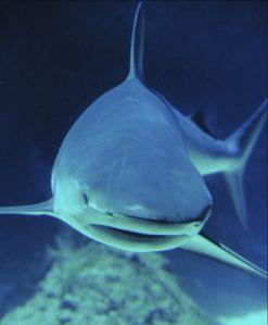 gtotem_shark